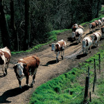 VACHES3